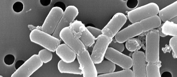 乳酸菌T001