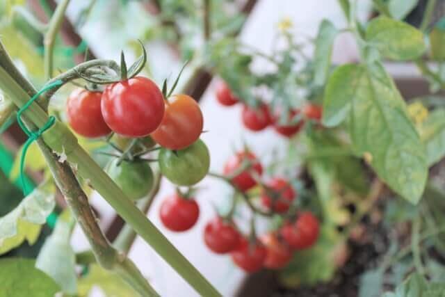 ミニトマト プチトマト 違い