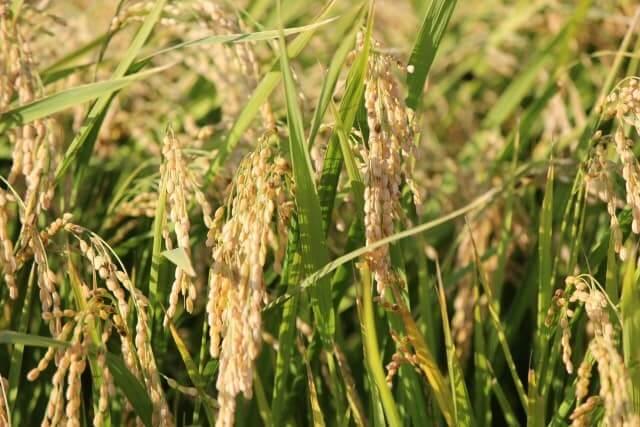 米 虫 収穫前 稲穂