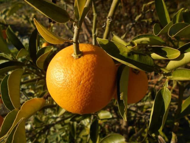 鏡餅 意味 橙
