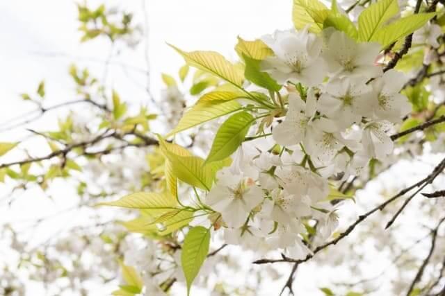 桜餅 葉っぱ 種類 何