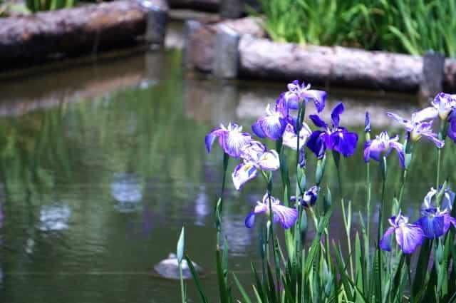水辺に咲く花菖蒲