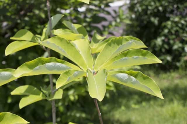 朴の木 葉っぱ
