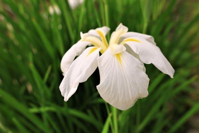 花菖蒲の花