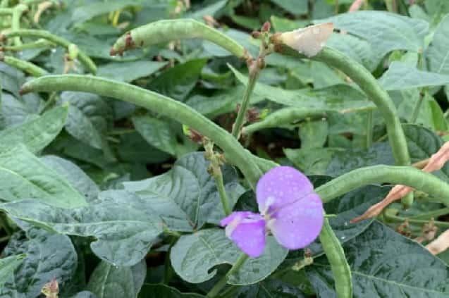 小豆 虫が湧く 理由 栽培中