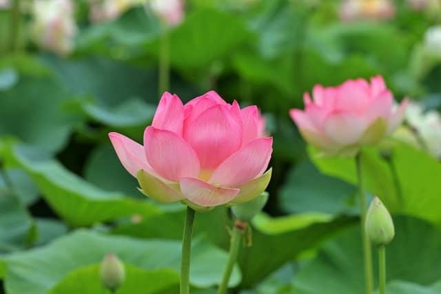 神式 初盆 新盆 香典袋 蓮の花